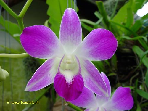 Sai Nam Phung Orchid Farm, Mae Rim, Chiang Mai, Thailand - 2996 | by HereIsTom