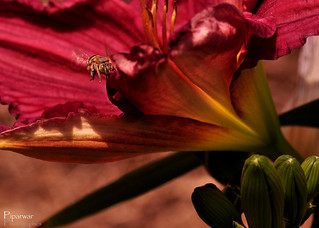 Buzzing Day Lily