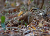 White-breasted Mesite (Mesitornis variegatus) by macronyx