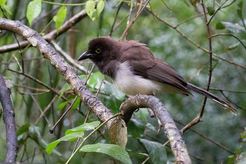 Brown Jay | by Linda Bushman