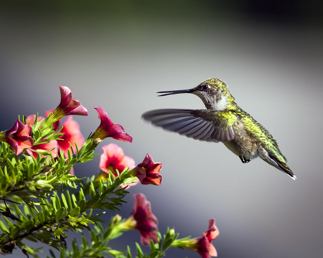 Ruby Throated Hummingbird - Explored. Thanks!