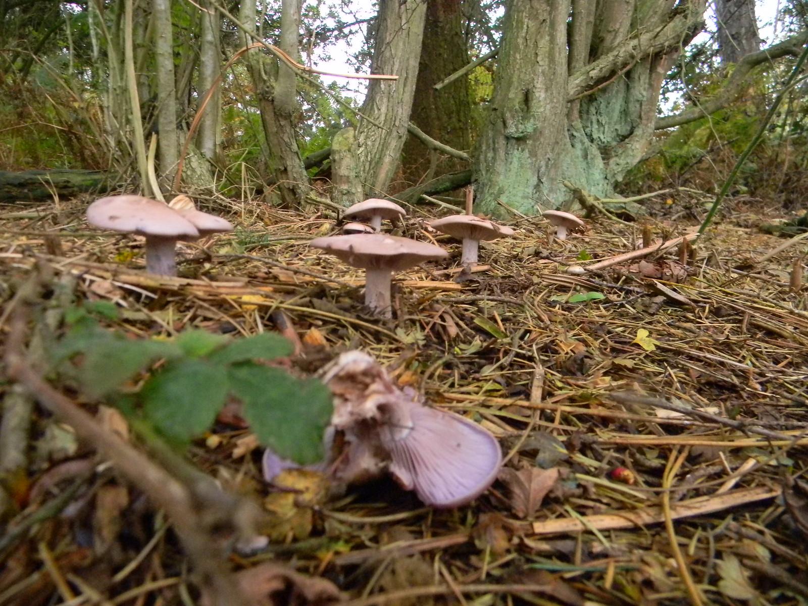Fungi Princes Risborough to Great Missenden