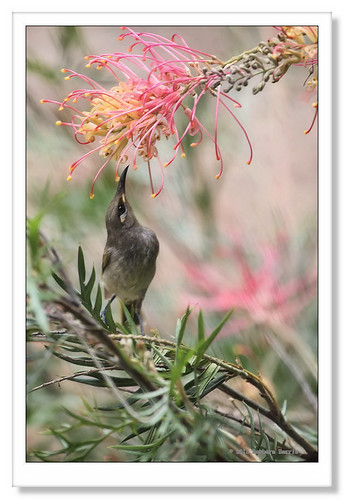 Brown Honeyeater-3017 | by Barbara J H