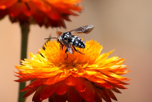 Blue spotted cuckoo bee - Thyreus sp.