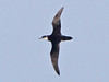 Manx Shearwater, Scilly pelagic, 10-Aug-12 by Dave Appleton