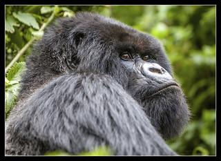 Mountain Gorillas | by féileacán