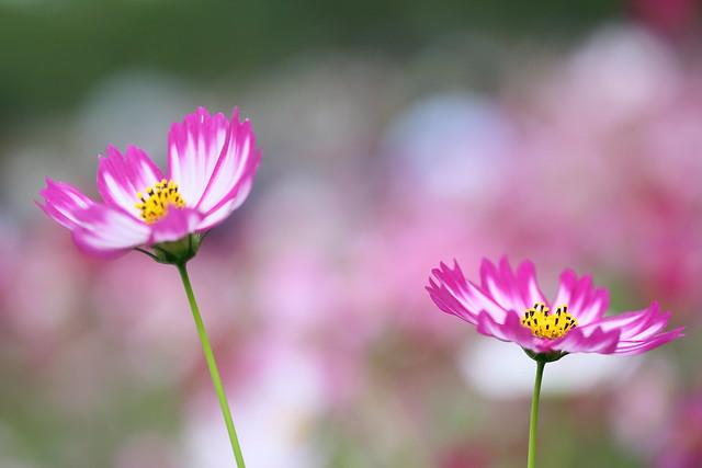 full bloom.
