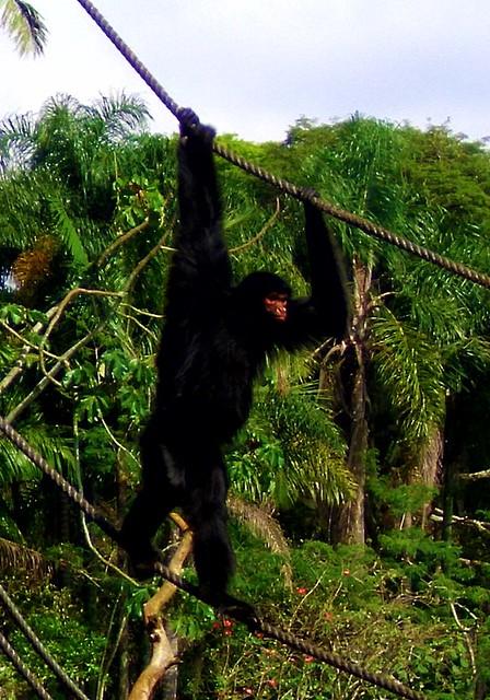 Macaco Aranha de Cara Vermelha