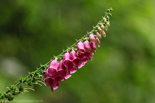 Foxglove In The Rain