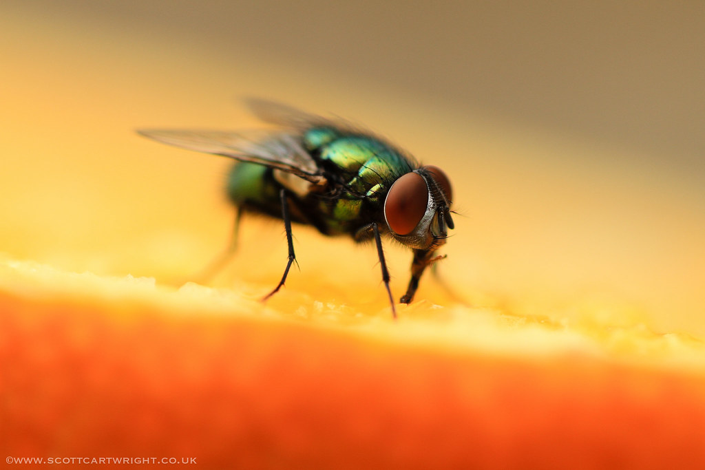 Common Green Bottle Fly Macro