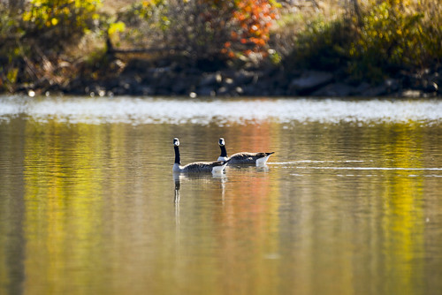 autumn fall geese wildlife goose foliage canadiangoose canadiangeese annville canadagoose fortindiantowngap lebanoncounty ftindiantowngap ftig