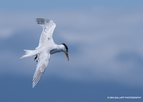 Charrán Real / Royal Tern | by Oda Gallart