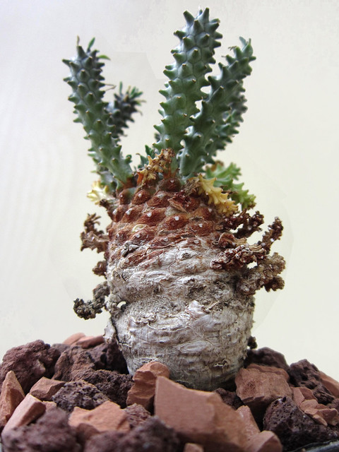 Euphorbia atro-viridis, Aleutelfontein