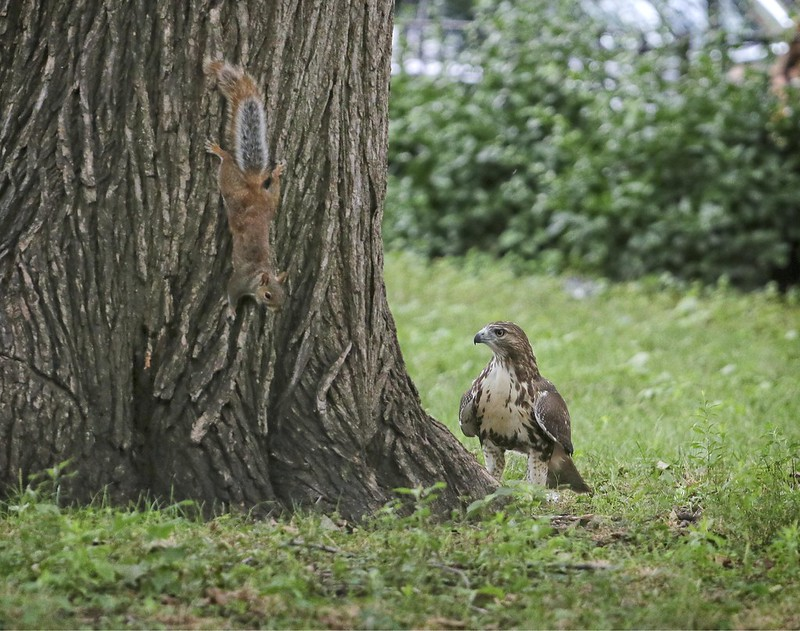 Fledgling hawk trying to catch a squirrel