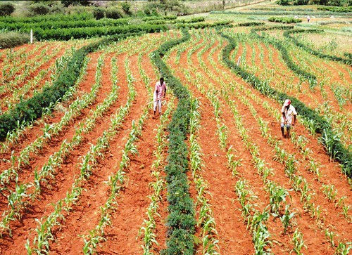 Farming Gliricidia and Maize | by World Agroforestry