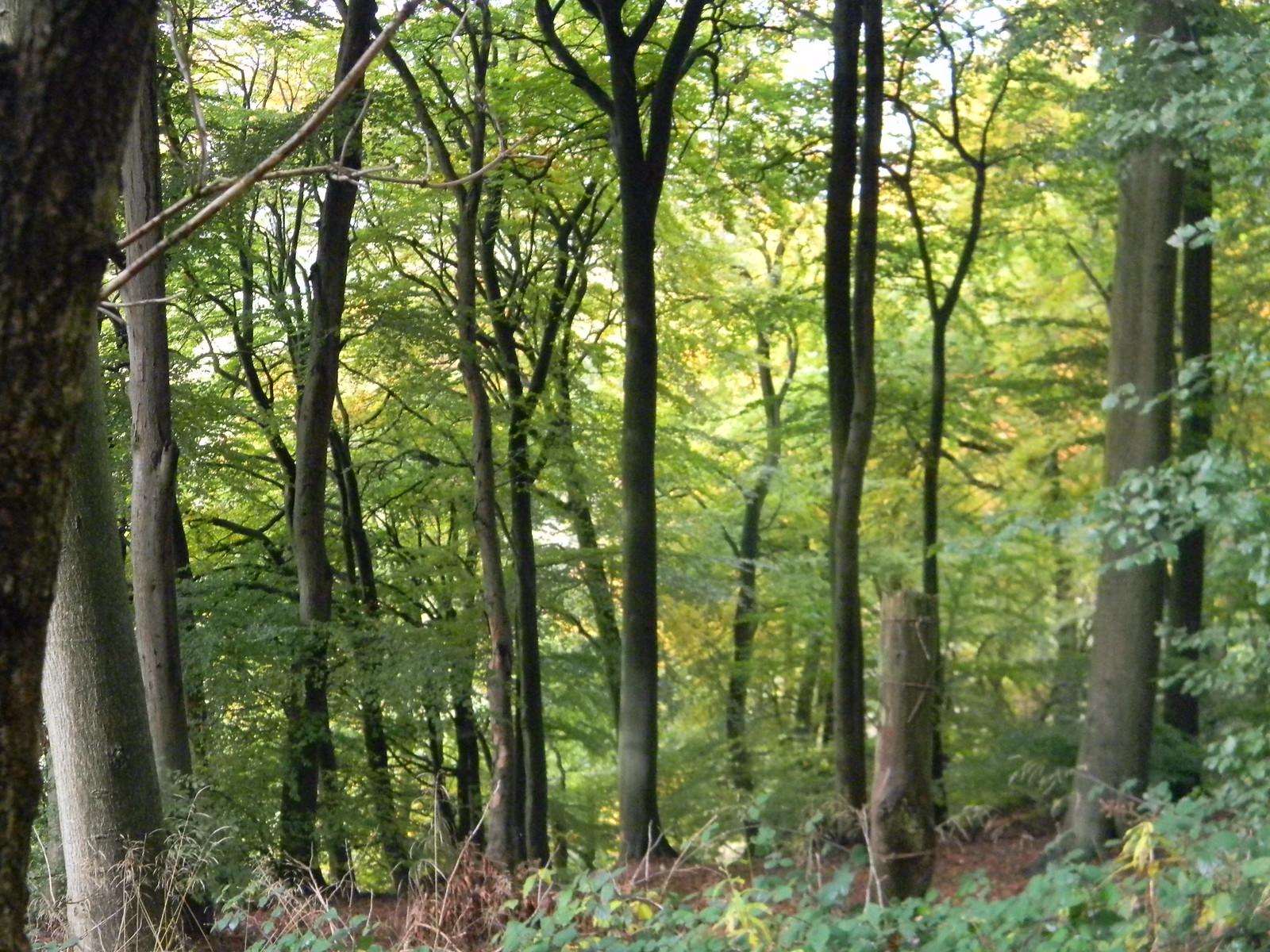 Tall trees Wendover Circular