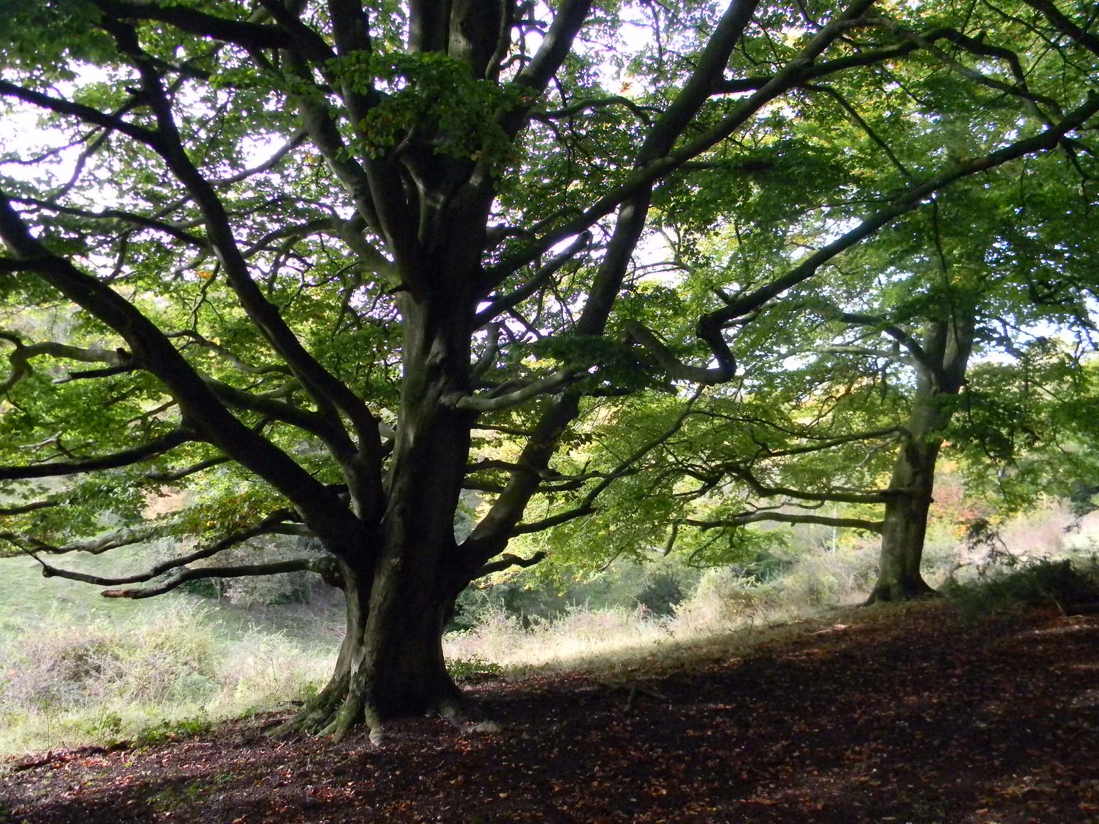 Trees on a ridge Wendover Circular