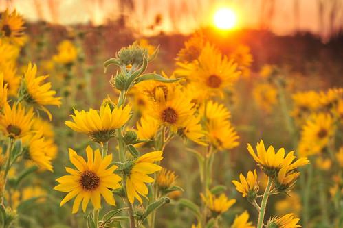 sunset sunflowers sunflower kansas wichita maximilian chisholmcreekpark ksccna7335