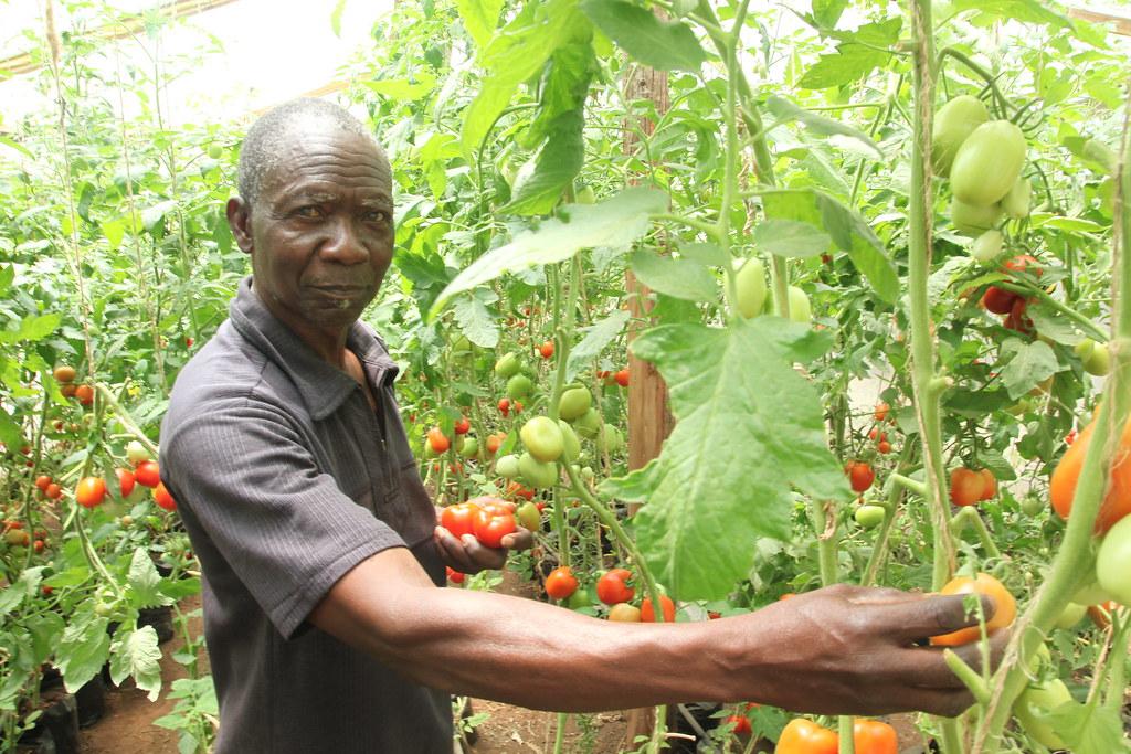 Growing Tomatoes in Greenhouses in Kenya | A farmer displays