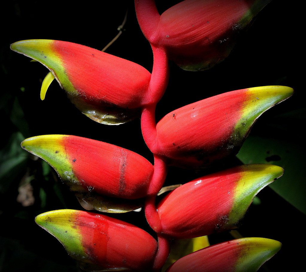 Hanging heliconia flower