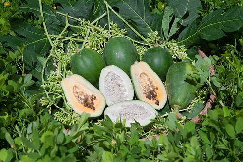 papaya-carica-papaya-IMG_6063_E | by noelnoelnoelnoel