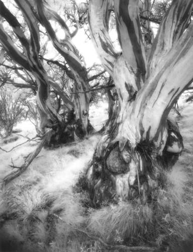 film australia photograph infrared 4x5 largeformat schneider snowgum charlottepass 75mm efke superangulon angulon gelatinsilver ir820 ir680filter