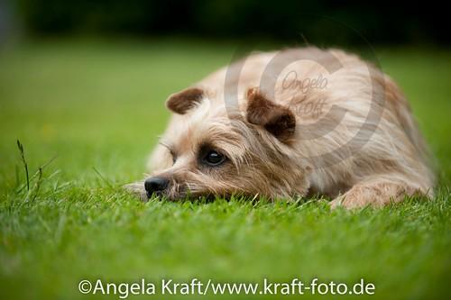 Angela Kraft 15062012 Cairn Terrier 3   by Angela Kraft