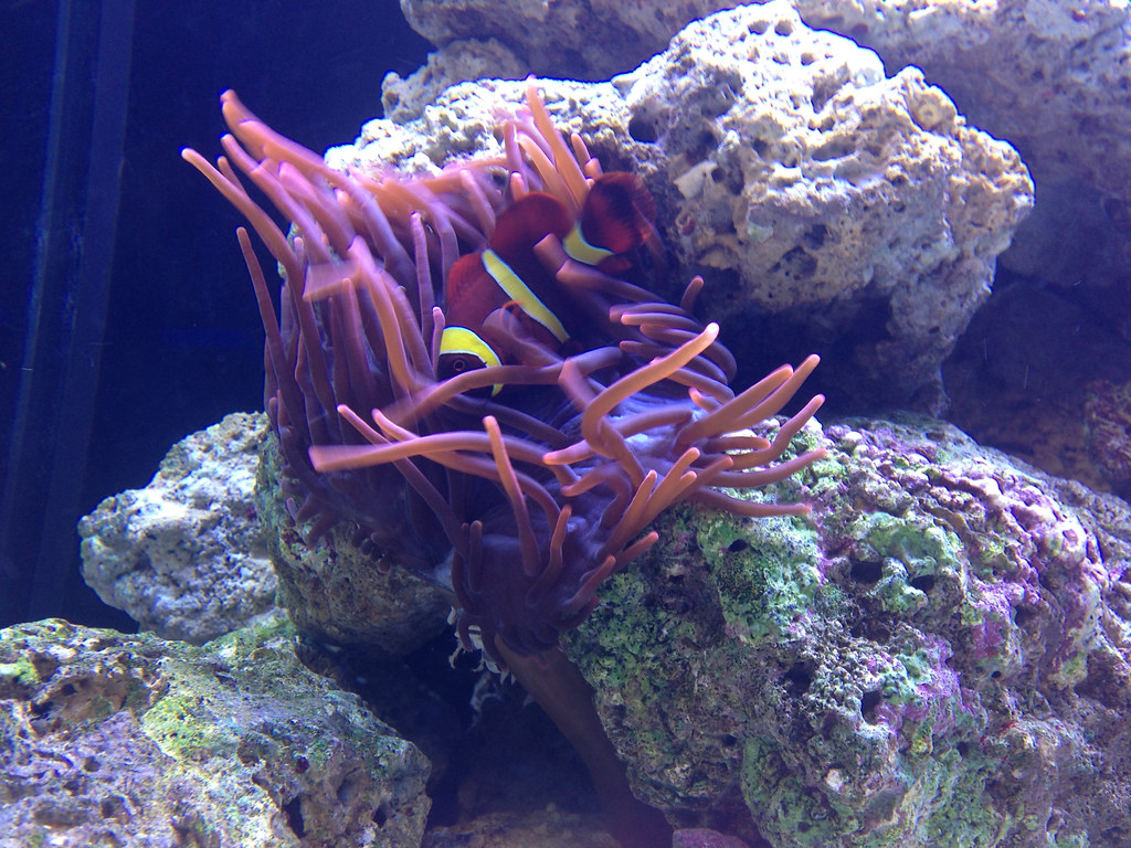 clown fish - gold stripe maroon and RBTA | John Evans | Flickr