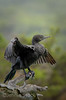 Little black cormorant drying out by Jennie Stock