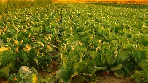 laszczki poland cabbage field sunset cabbagepatch farm