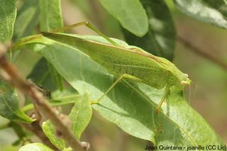Phaneroptera nana | by Joan Quintana (joanillo)