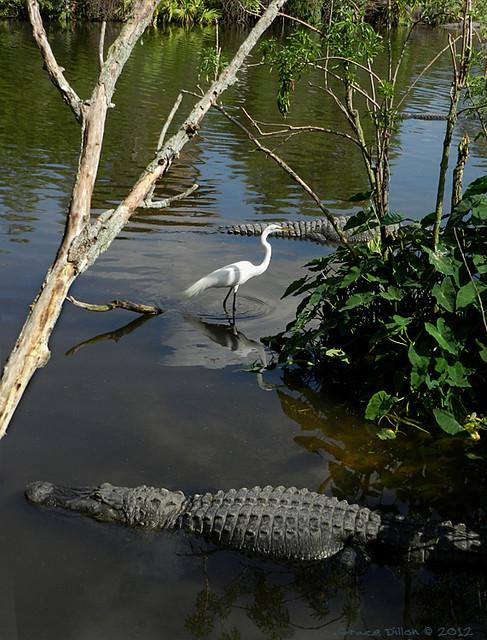 Great White Egret and 4 Alligators