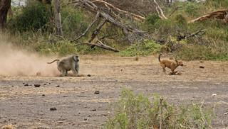 Baboon vs dog | by Kerri Lee Smith