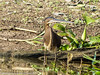 Agami Heron (immature) by xrxss15
