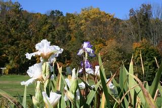The Last Irises Of Autumn