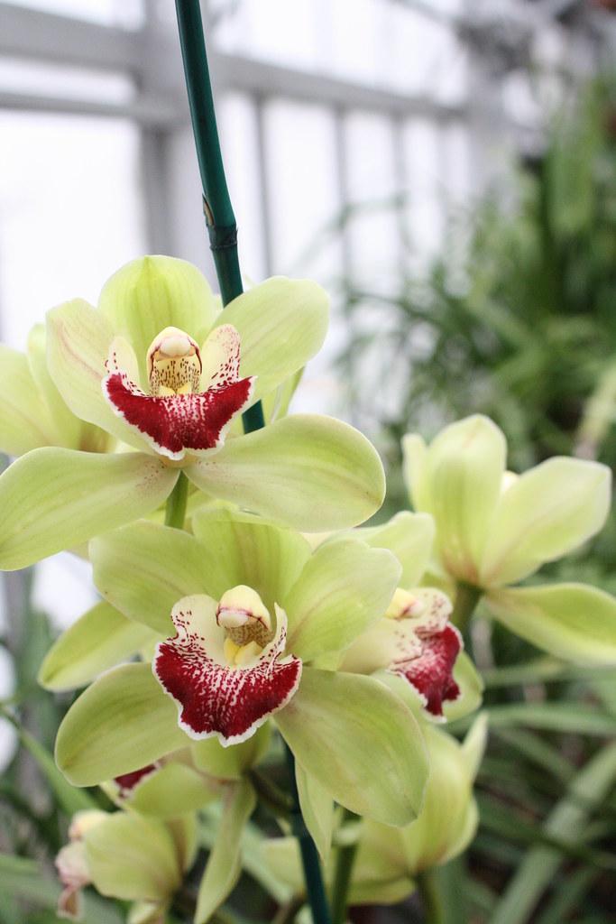 Cymbidium missouri botanical garden 2013 orchid show - Orchid show missouri botanical garden ...