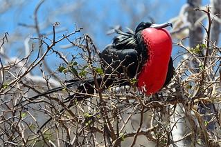 Фрегат великолепный, Fregata magnificens, Magnificent Frigatebird | by Oleg Nomad
