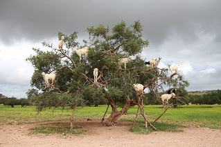 Climbing goats in a tree | by f514nc0