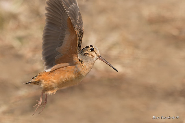 Woodcock in flight