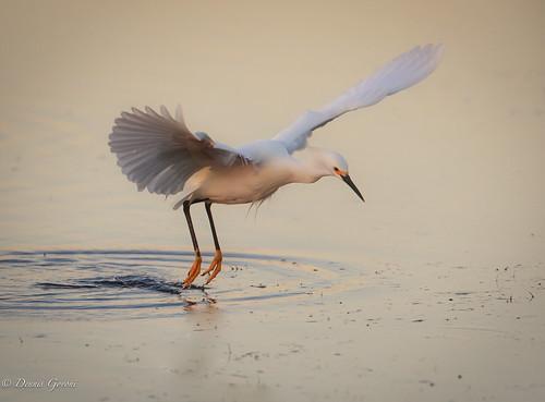 merrittisland background bird egret florida sunrise water wildlife