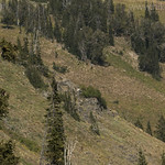 Bighorn Sheep in Granite Canyon