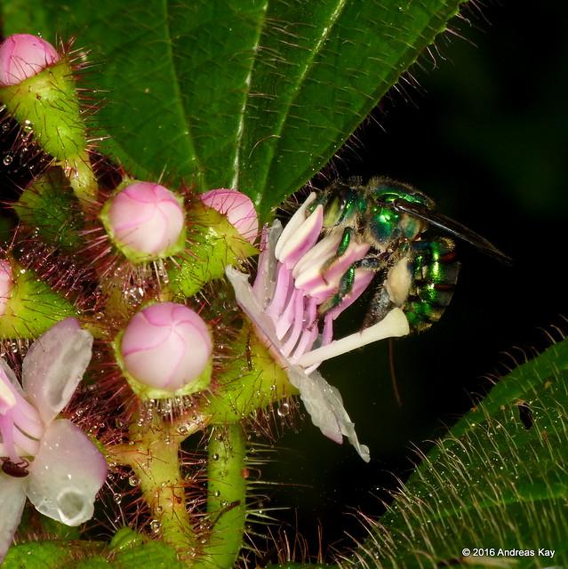 Euglossa sp. & Tococa guianensis