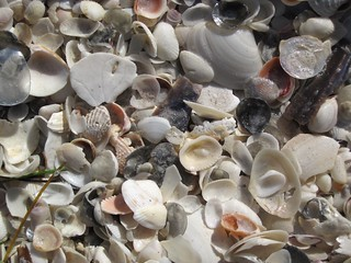 Mollusc shells on marine beach (Cayo Costa Island, Florida, USA) 23 | by James St. John