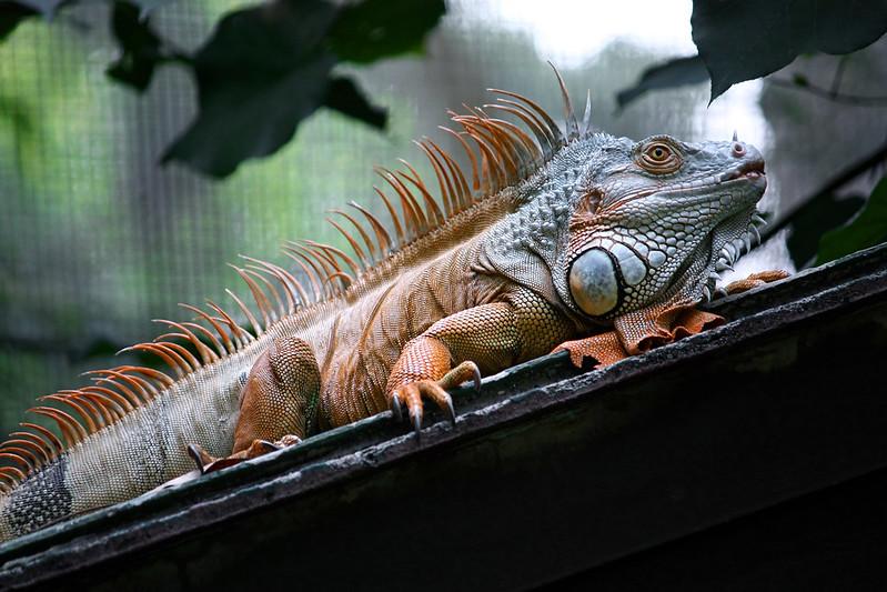Exotic Iguana