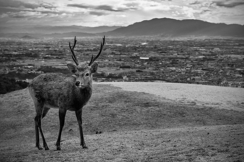 A deer in the background Nara city