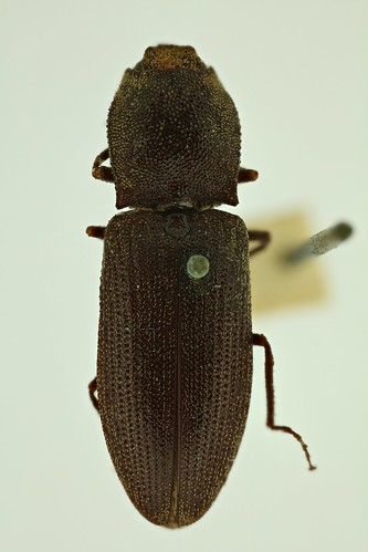 Agrypnus lapideus (Candèze, 1857) syntype male | by NHM Beetles and Bugs