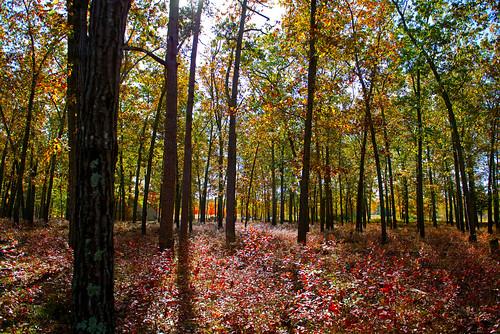new blue autumn trees sky lake fall nature pine clouds forest nikon state nj jersey barrens wharton d800 batsto hammonton 2470 batstolake nikon2470mmf28 nikond800 bkushner