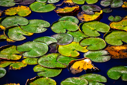 Water Lilies Pads on Walney Pond in Lawrence Park Fairfax County VA | by mbell1975