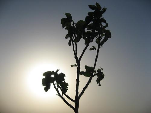 sunset tree nature fleur canon israel fig ixus arbre contrejour figuier coucherdusoleil vegetaux