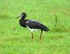 Abdim's Stork (Ciconia abdimii)  by Francisco Piedrahita
